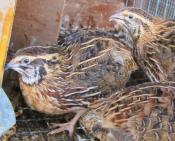 quail_bird_uganda.jpg